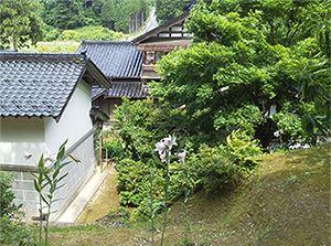 裏山から家をみる。こんな感じでササユリは咲いています。