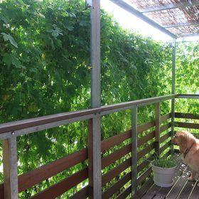 緑のカーテンコンクール