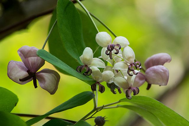 つるの先につけた雄花と雌花がゆっくりと揺れるアケビ。