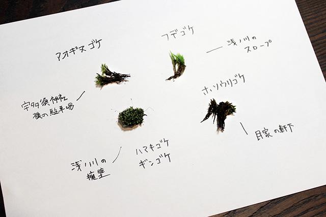 散策で採取した苔たち。