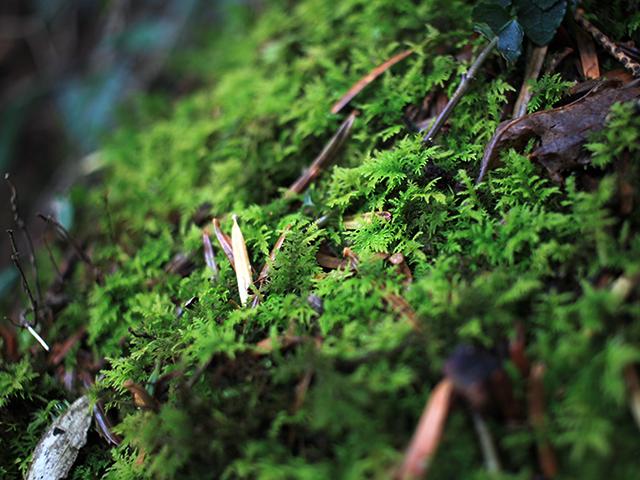 トヤマシノブゴケは葉の広がりがシダのようで美しい
