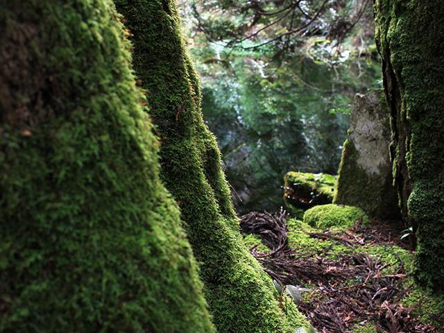 御手洗池のまわりに苔むした木々