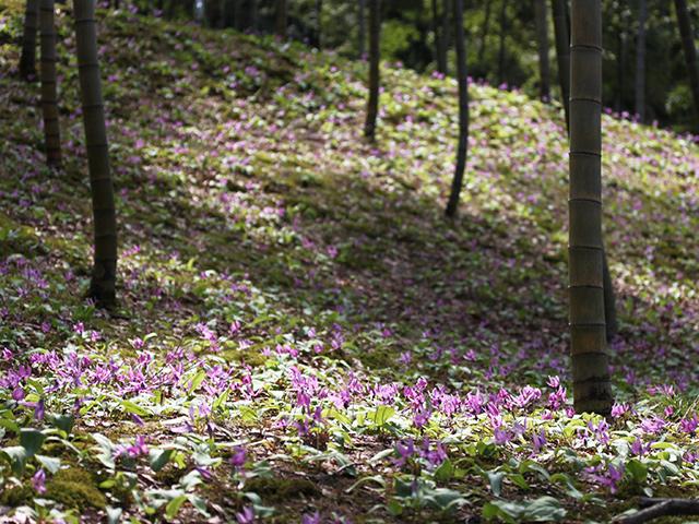 木漏れ日の中咲くカタクリ。日が当たると反るように花を開き夕方には閉じてしまう。