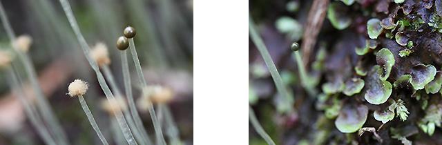 (左)球の中からフワフワの胞子 (右)葉(葉状体といいます)