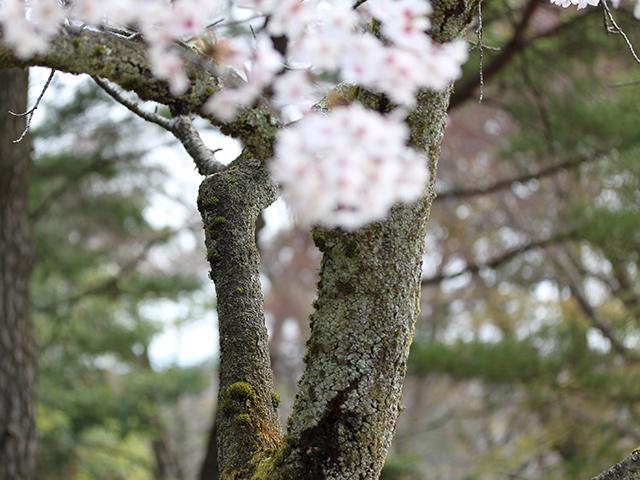満開の桜の木にも苔の花が咲いていました