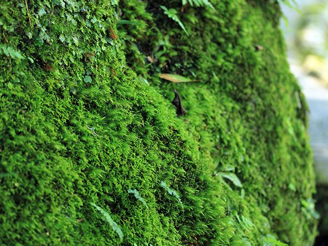 ハイゴケ、ヒノキゴケ、シッポゴケ…蘚類の壁面。