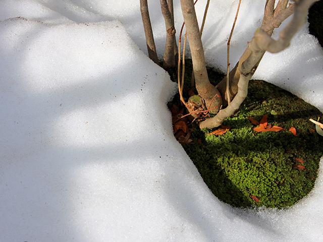 雪の下からすこし色が鈍ったスナゴケが顔を出した。(2018年2月27日)