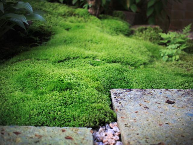 苔庭づくりはつづく。