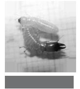 アメリカカンザイシロアリの職蟻(上)と兵蟻(下)