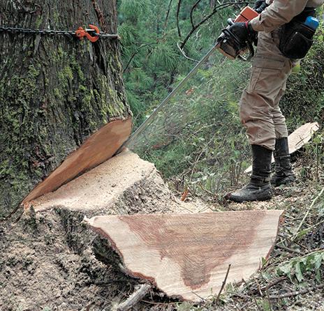 杉の伐採現場。木は家づくりの材として多くのすぐれた特性をもつ。年輪の中心部の赤い部分が心材、その周辺の白い部分が辺材。