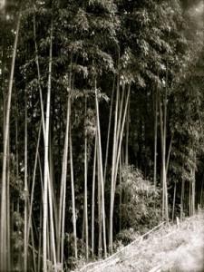 むこうの斜面に生える竹