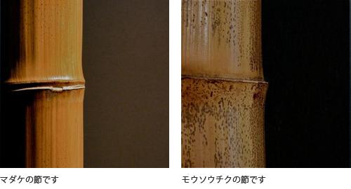 (右)マダケの節です(左)モウソウチクの節です