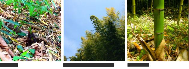 [左]孟宗竹の筍[中央]筍の需要減衰で増殖する孟宗竹[右]マダケの美竹