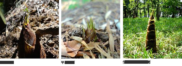 (左)斜面の筍 (中央)平地の筍 (右)生長をつづける筍