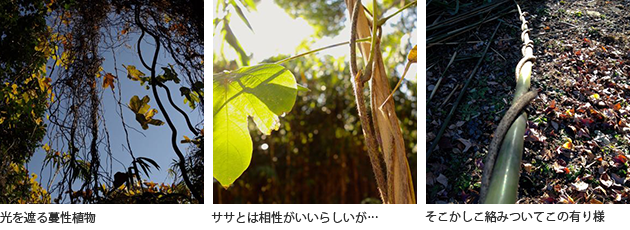 (左)光を遮る蔓性植物 (中央)ササとは相性がいいらしいが… (右)そこかしこ絡みついてこの有り様