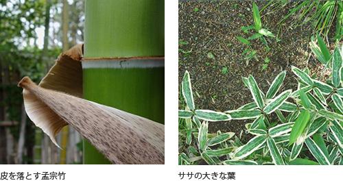 (左)皮を落とす孟宗竹(右)ササの大きな葉