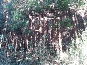 日田杉の森林