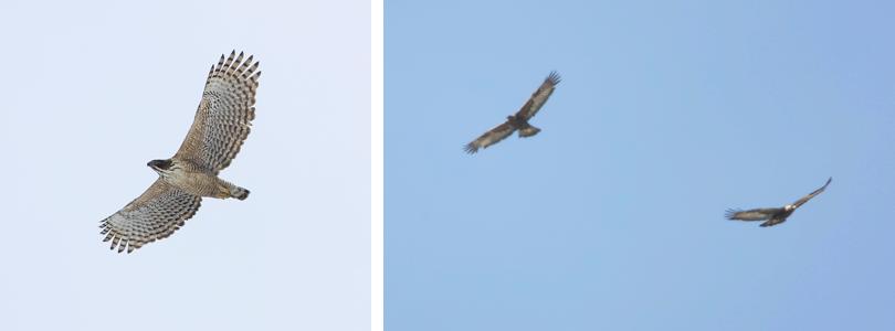 (左)クマタカ(右)イヌワシのペア 撮影:高野丈