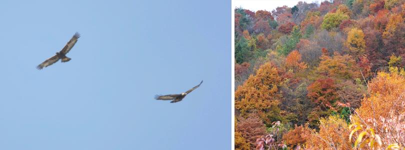 (左)イヌワシのペア 撮影:高野丈(右)いろいろな樹種が繁る自然林は、クマタカの繁殖地やイヌワシの冬の狩場