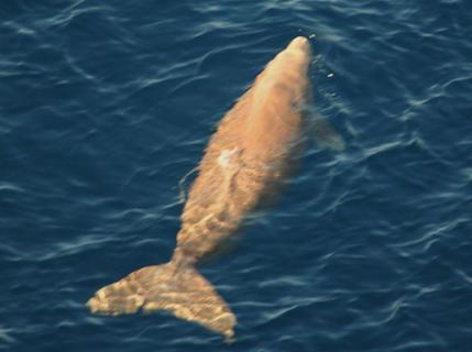 近年、めったに姿が見られなくなった沖縄のジュゴン。世界の北限に生息する絶滅危惧種だ。(東恩納琢磨氏提供)