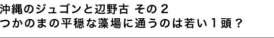 沖縄のジュゴンと辺野古 その2 つかのまの平穏な藻場に通うのは若い1頭?