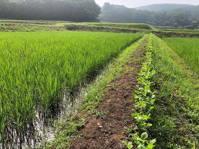 草刈り後、小豆の列を振り返って達成感に浸る。