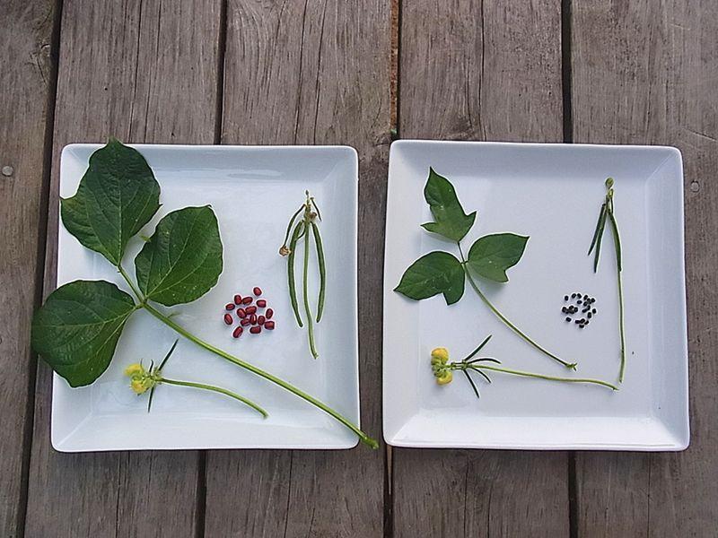 左が栽培種の小豆、右がヤブツルアズキ