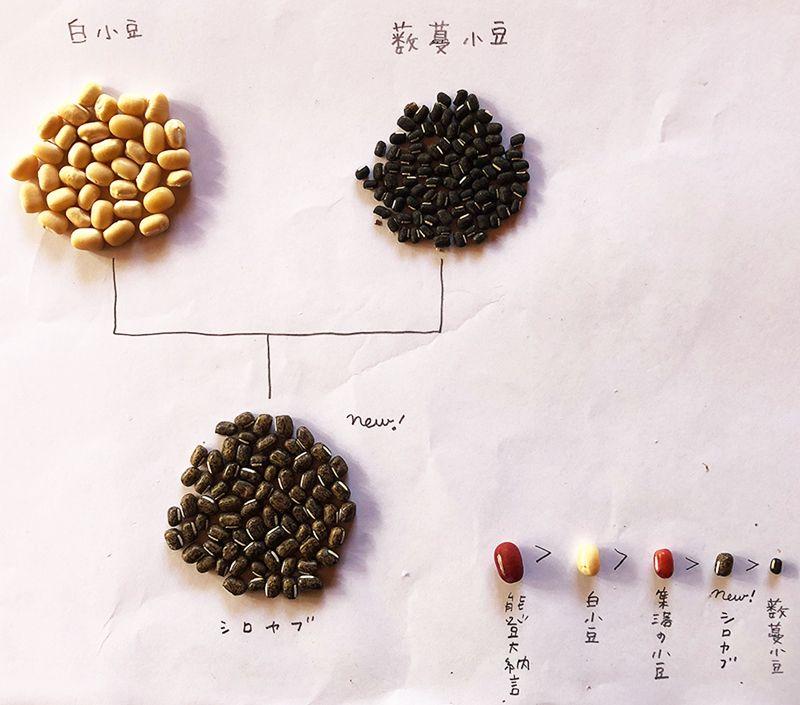 白小豆とヤブツルアズキの交雑種かもしれないので「シロヤブ」と命名。右下はのがし研究所で栽培中の豆の大きさ比較。