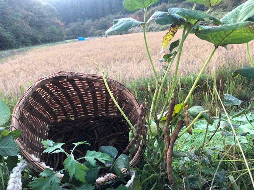 毎年秋の晴天の日にパリッとはぜた鞘から、真っ赤な小豆が顔を出す時の鮮やかさといったら他に比べるものはない。