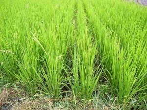 自然農で育つ力強い稲