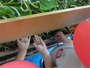 「大和高原文化の会」が運営する大和高原民俗資料館内で、毎年実施する養蚕。今年は奈良市内の幼稚園から子どもたちが見学にきてくれて、大賑わい