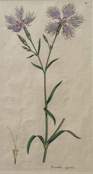 ジェームズ・エドワード・スミスのなでしこ図譜(1791~92年)