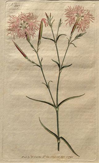『ボタニカル・マガジン』のなでしこ図(1795年)