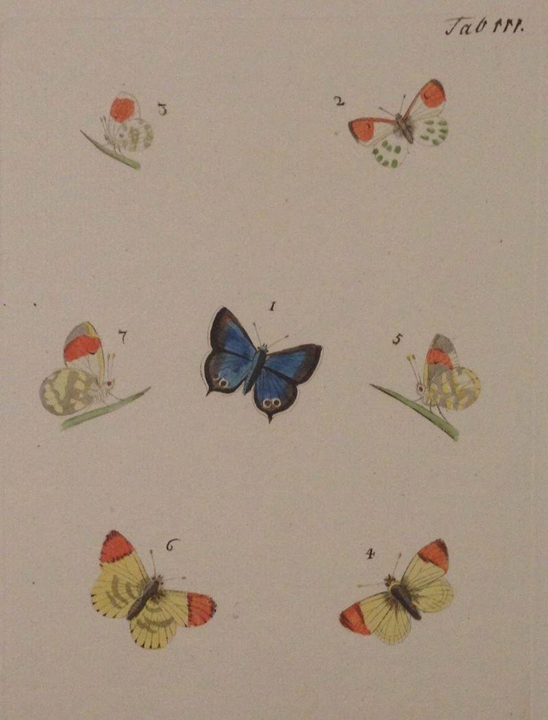 作者など詳細不明だが大変かわいらしい蝶々の銅版手彩色図譜。 (18世紀、ドイツ。クモマツマキチョウとルリシジミ)