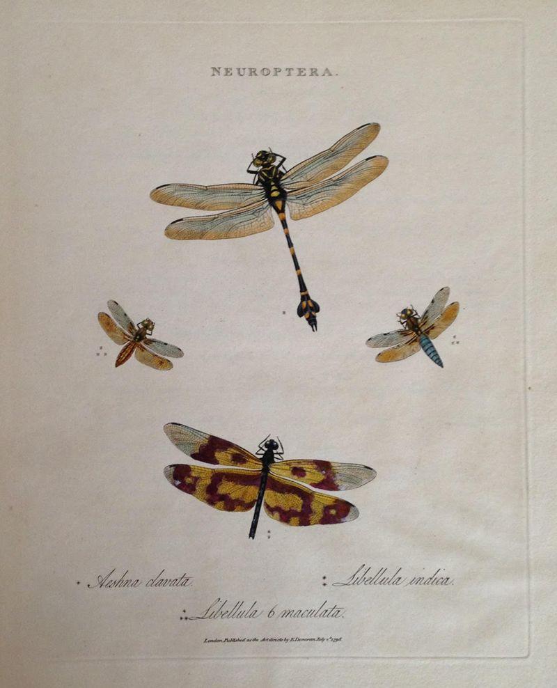 私が思うにトンボ図譜の最高峰の一つ。E.ドノヴァンの 『中国の昆虫』(ロンドン、1798年)からの手彩色銅版図譜。