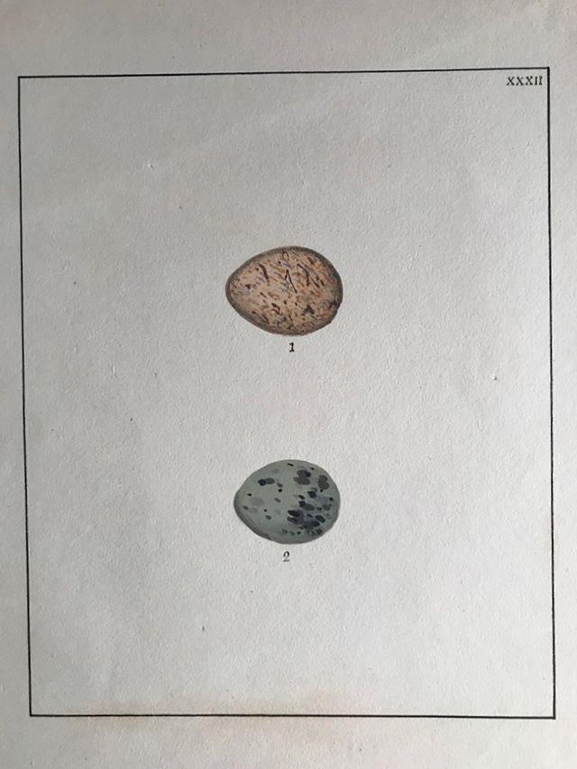 ルーウィン『イギリスの鳥類とその卵』初版(1789~94年)の卵の図譜